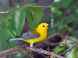 IMG_7443 Prothonotary Warbler.jpg
