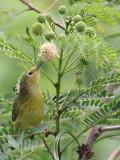 IMG_7175 Yellow Warbler.jpg