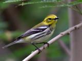 IMG_7129 Black-throated Green Warbler female.jpg