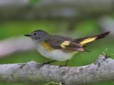 IMG_7348 American Redstart female.jpg