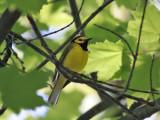 IMG_7582 Hooded Warbler.jpg