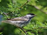 IMG_5939 Blackpoll Warbler.jpg