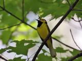 IMG_7616 Hooded Warbler.jpg