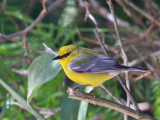 IMG_6670 Blue-winged Warbler.jpg
