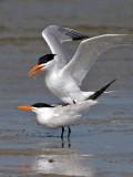 IMG_6610 Royal Tern.jpg