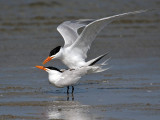 IMG_6611 Royal Tern.jpg