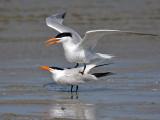 IMG_6615 Royal Tern.jpg
