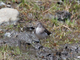 IMG_8584a Solitary Sandpiper.jpg