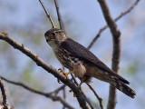 IMG_9185 Merlin male.jpg