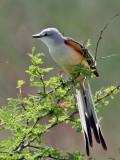 IMG_6250 Scissor-tailed Flycatcher.jpg