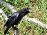 IMG_9872 Common Raven.jpg