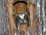 IMG_9955 Northern Saw-whet Owlet.jpg