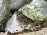 IMG_6459 Lincoln's Sparrow.jpg