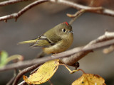 IMG_2474 Ruby-crowned Kinglet.jpg