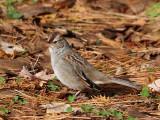 IMG_2087 White-crowned Sparrow.jpg