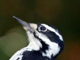 IMG_1557 Hairy Woodpecker - female.jpg