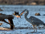 IMG_2850b Great Blue Heron.jpg