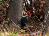 IMG_3015 Pileated Woodpecker male.jpg