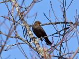 IMG_3045 Rusty Blackbird.jpg