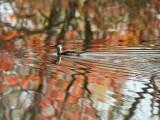 IMG_1856 Wood Duck.jpg