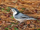 IMG_1586  White-breasted Nuthatch.jpg