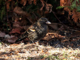 IMG_3364 Red-winged Blackbird.jpg