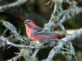 IMG_3514 Pine Grosbeak.jpg