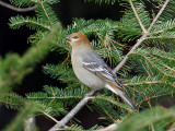 IMG_3464 Pine Grosbeak.jpg