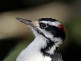 IMG_2613 Hairy  Woodpecker - male.jpg