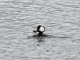 IMG_1740  Hooded Merganser.jpg
