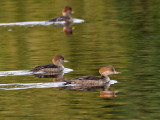 IMG_2434 Hooded Merganser.jpg