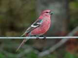 IMG_3500  Pine Grosbeak.jpg