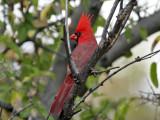IMG_4444 Cardinal.jpg