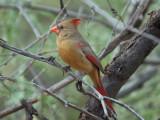IMG_4448 Northern Cardinal.jpg