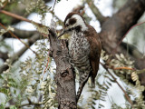 IMG_4502 Arizona Woodpecker.jpg