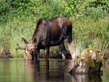 IMG_2242 Moose.jpg