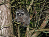IMG_3322 Raccoon.jpg
