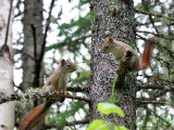IMG_4962 Red Squirrels.jpg