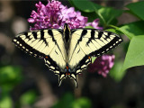 IMG_3980 Eastern Tiger Swallowtail.jpg