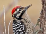 IMG_5140 Ladder-backed Woodpecker - male.jpg