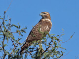 IMG_4896 Red-tailed Hawk.jpg