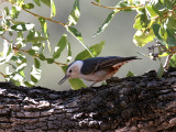 IMG_7995 White-breasted Nuthatch.jpg