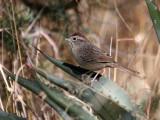 IMG_8032 Rufous-Crowned Sparrow.jpg
