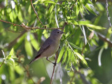 IMG_5570 Lucy's Warbler.jpg