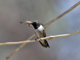 IMG_6713 Black-chinned Hummingbird.jpg