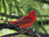Orioles and Tanagers