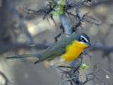 IMG_8659 Yellow-Breasted Chat.jpg