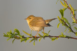 Fitis/Willow warbler