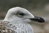 Great Black-backed Gull (Larus marinus) - havstrut