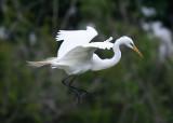 Great Egret (Ardea alba) - ägretthäger